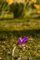 Emily's Crocus by ERB20