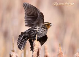 Redwinged blackbird female by gigi50