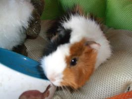 Xx guinea pig xX by charly1998