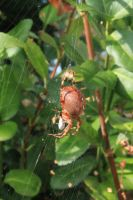spider at lunch by Fricky-Blue-Eye