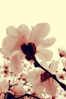magnolia by LevisPhotography