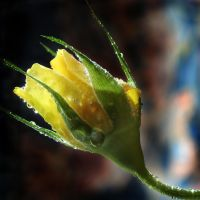 Yellow Rose 04 by s-kmp