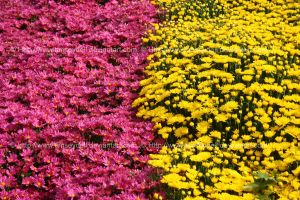 Mums by timseydell