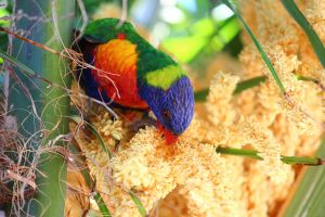 Wild Rainbow Lorikeet eating by N-ScapePhotography