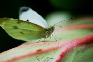Small White Butterfly. by CapnSarah