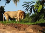 Lion Stock by Tala-Stock
