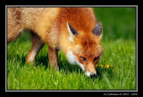 Fox by andy-j-s