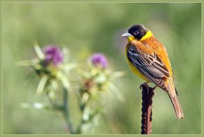 Black-headed Bunting by Jamie-MacArthur