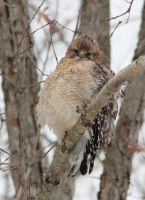 Red-shouldered Hawk December 2013 by arcadian7