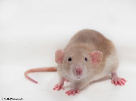 Charlotte the RAT by Shutterbug0629