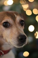 Christmas Jack Russell by GeorgeAmies
