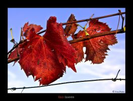 Red Leaves by Marcello-Paoli