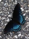 Blue and Black Butterfly by magpienerd