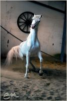 arabian horse 2 by brijome