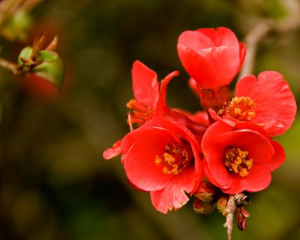 Flowering Quince 2011 by PlumCrazee