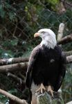 Eagle Eye by Evanescent-Chaos