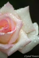 Rainy Light Pink Rose by poetcrystaldawn