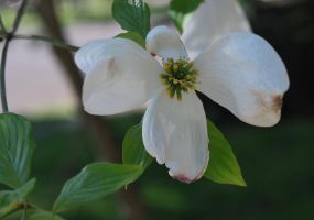 Dogwood Bloom 4th Week by coffeenoir