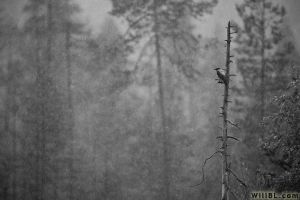 Jackdaw in Rain by willbl