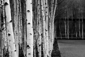 silver birches by evelynzee