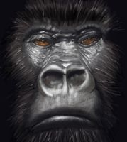 Gorilla closeup by MateusRocha