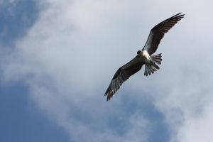 Osprey by CandiceSmithPhoto