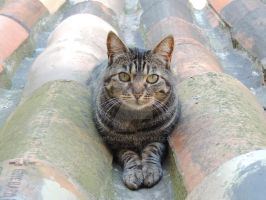 the roof cat by amitm123