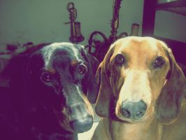 Dachshunds by ZainLina
