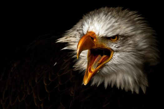 american bald eagle by zeischold