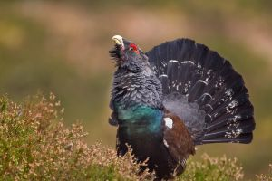 His Majesty - capercaillie by Jamie-MacArthur