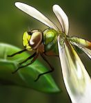 Dragonfly by Joffish