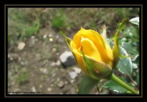 Yellow Rose by picworth1000wrds