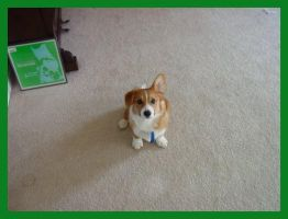 The One-Eared Corgi by Oliver-corgi
