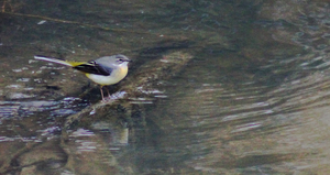 Grey Wagtail by S4MMY4RT