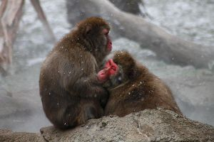 Snow Monkeys 3 by S-H-Photography