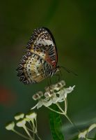 Butterfly Stock 20 by NellyGrace3103