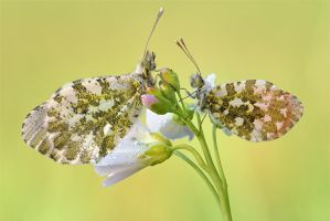 orange tip pair by MartinAmm