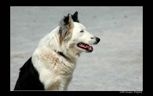 Border Collie by grugster