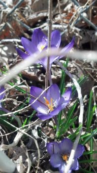 Crocus 1 by weego