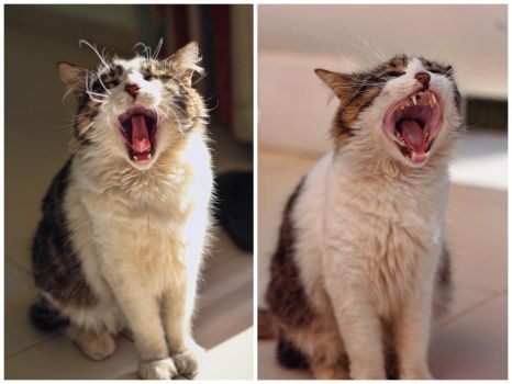 Cat Yawning by h3design