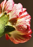 Carnation flower with waterdrop 1 by a6-k