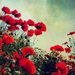 poppies by ZanaSoul