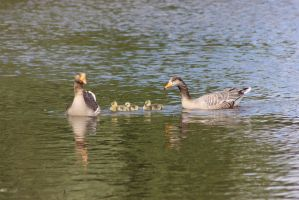 The Grey Geese Family - II by JetteReitsma