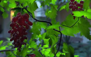 Grapes by syedady
