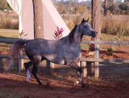 JA Arab Troting side view by Chunga-Stock