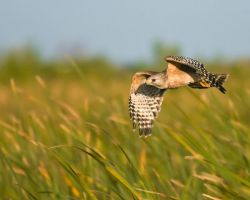 Everglades Hawk by datfly