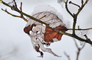Snow covered leaf by Tailgun2009