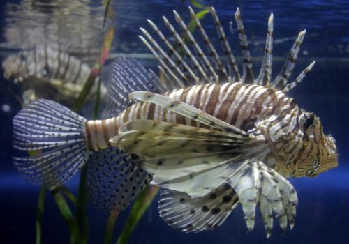Lion Fish by fuguestock