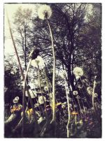 iPhoneography,  Dandelions (gotta mow my lawn) by arminmersmann2
