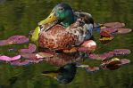 lily pad roost by ariseandrejoice